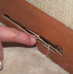 Newport Beach termite feeding damage | termite control in Newport Beach | Pest Control services in Newport Beach