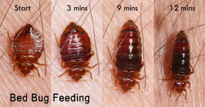 Bed Bugs and Signs to Prevent Infestation in Newport Beach